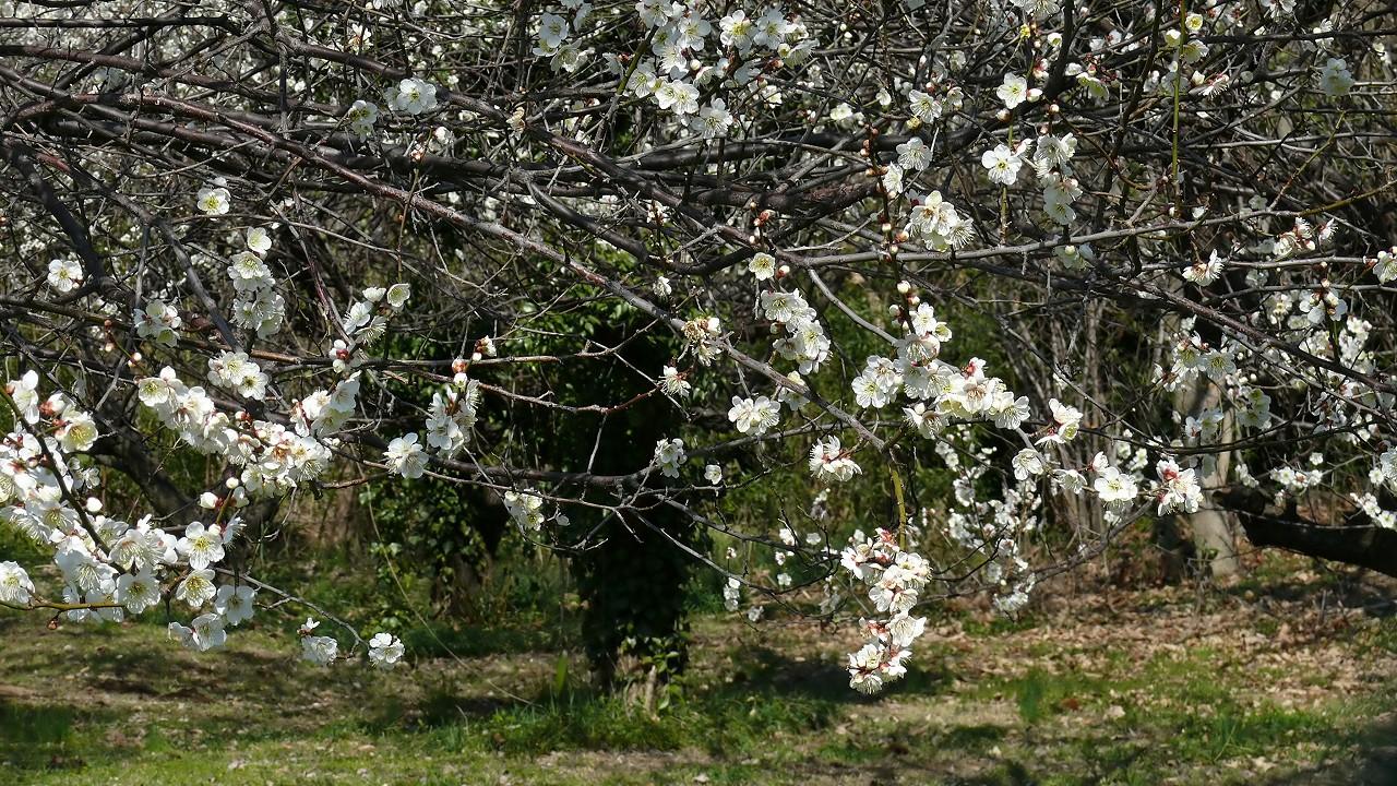 【 日記 3/14 】 ひとり梅祭り_a0185081_19333852.jpg
