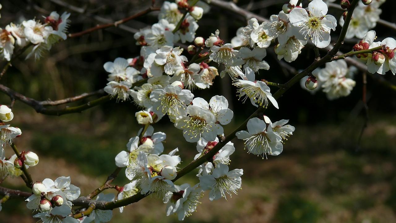 【 日記 3/14 】 ひとり梅祭り_a0185081_19341776.jpg