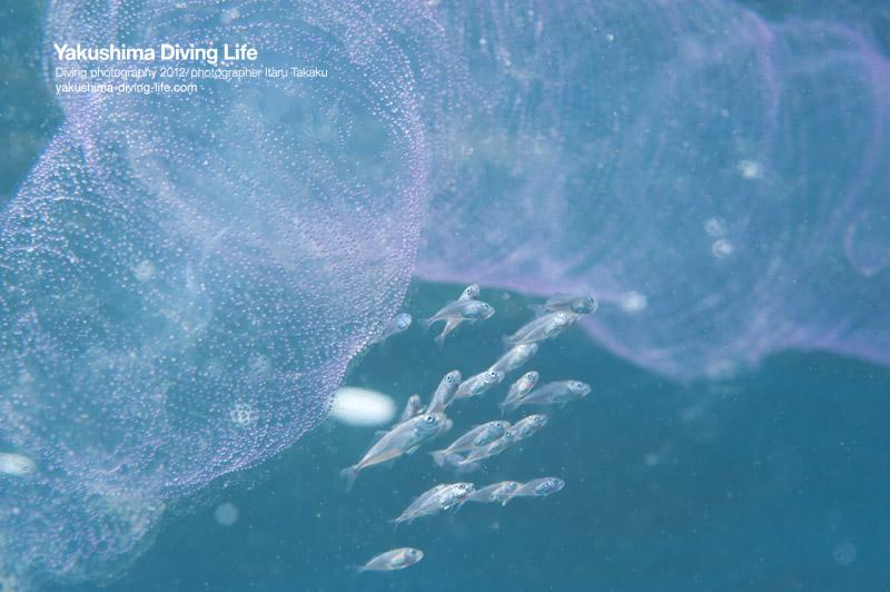 クジャクイカとソデイカ卵塊と峯水さん_b0186442_23213782.jpg
