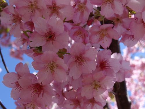 桜咲いた♪_e0240147_1482774.jpg