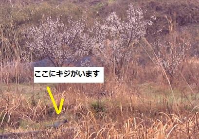 田んぼを悠然と歩くキジに、春を見た_e0175370_1811776.jpg