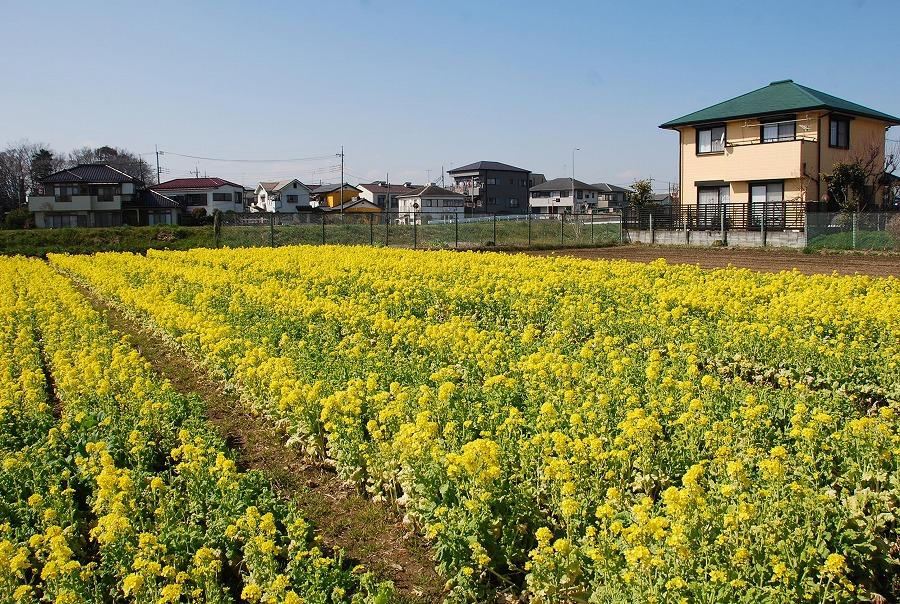 菜の花畑他_c0187781_23351733.jpg