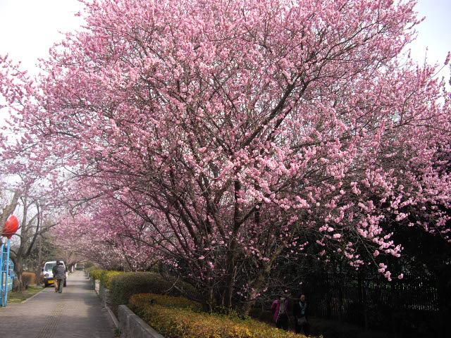 耳をすませば、春の足音。ようやく梅が・・・_d0116059_17265110.jpg
