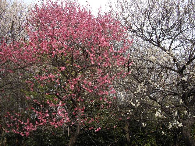 耳をすませば、春の足音。ようやく梅が・・・_d0116059_1736847.jpg