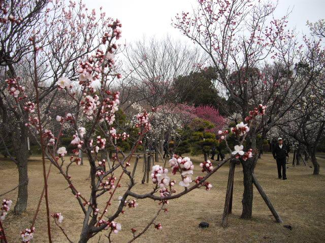 耳をすませば、春の足音。ようやく梅が・・・_d0116059_17373282.jpg