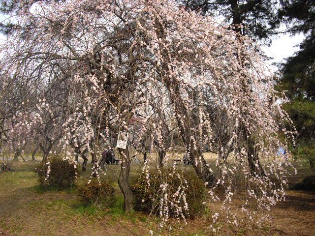 耳をすませば、春の足音。ようやく梅が・・・_d0116059_17384286.jpg