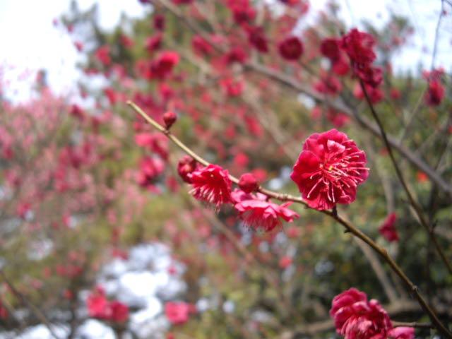 耳をすませば、春の足音。ようやく梅が・・・_d0116059_1740559.jpg