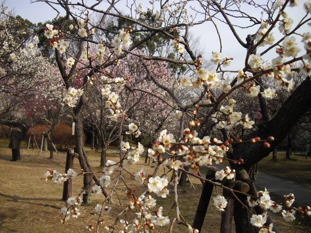 耳をすませば、春の足音。ようやく梅が・・・_d0116059_17431126.jpg