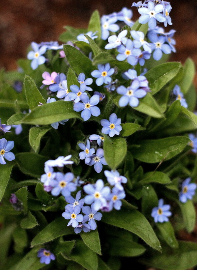Forget-me-not_e0155066_1043525.jpg
