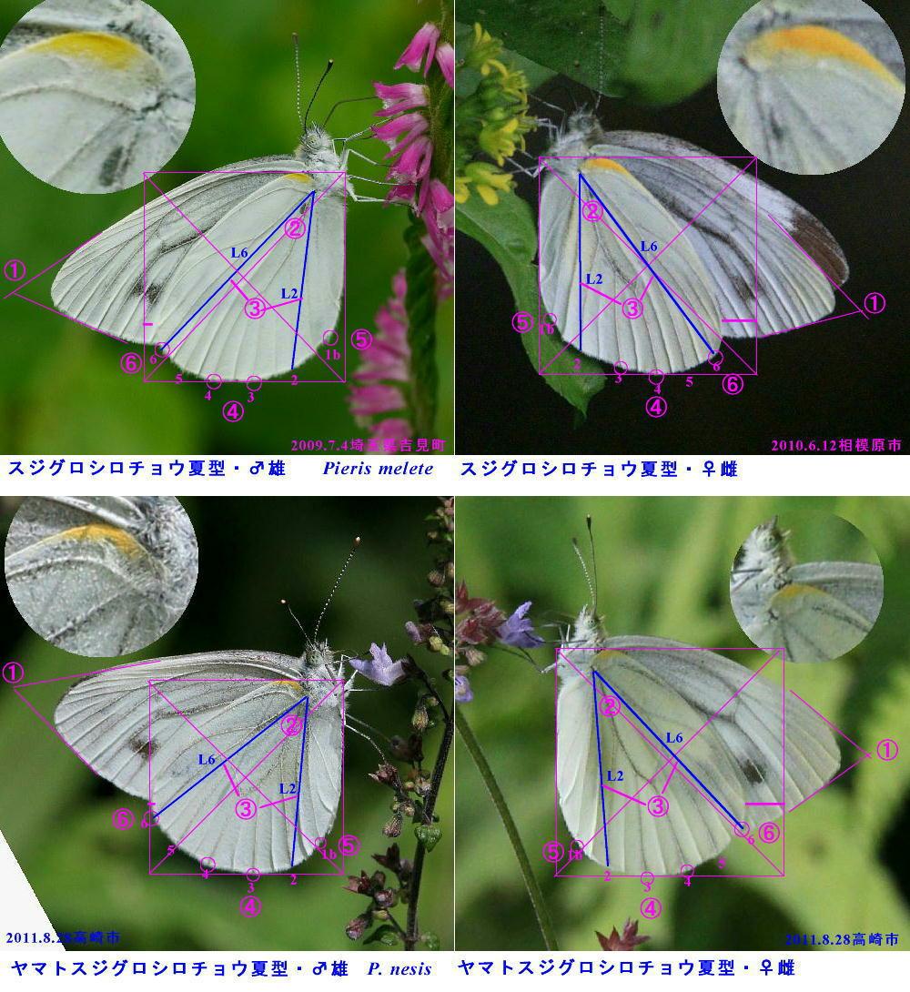 スジグロシロチョウ × ヤマトスジグロシロチョウ夏型の翅裏比較図Ver.2_a0146869_5123973.jpg