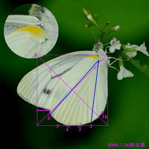 スジグロシロチョウ × ヤマトスジグロシロチョウ夏型の翅裏比較図Ver.2_a0146869_526124.jpg