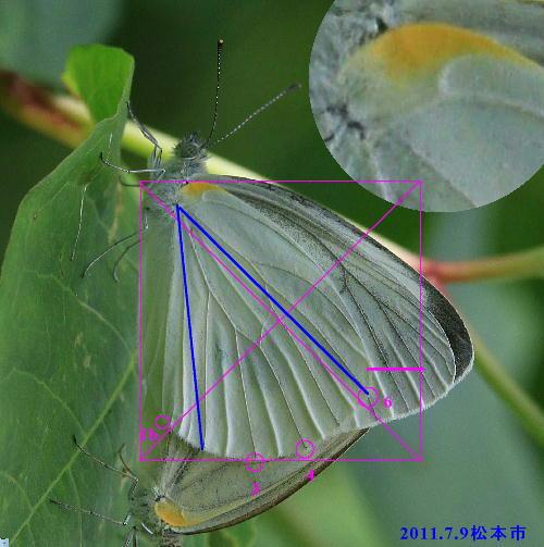 スジグロシロチョウ × ヤマトスジグロシロチョウ夏型の翅裏比較図Ver.2_a0146869_5275311.jpg