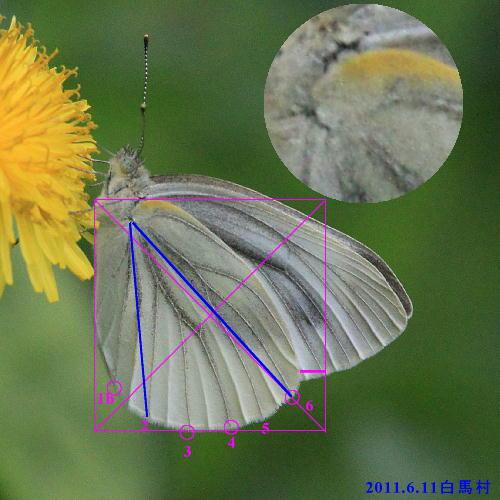 スジグロシロチョウ × ヤマトスジグロシロチョウ夏型の翅裏比較図Ver.2_a0146869_5282764.jpg
