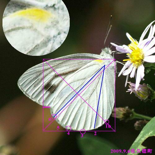 スジグロシロチョウ × ヤマトスジグロシロチョウ夏型の翅裏比較図Ver.2_a0146869_5554925.jpg