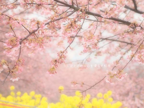 桜雨_d0006718_2393776.jpg