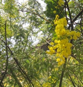 ミモザが咲きました_d0177560_22345544.jpg