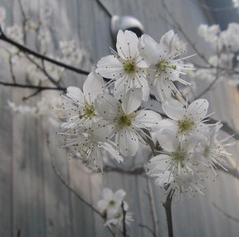 ミモザが咲きました_d0177560_22533474.jpg