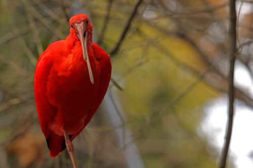 ショウジョウトキ:Scarlet Ibis_b0249597_1815880.jpg