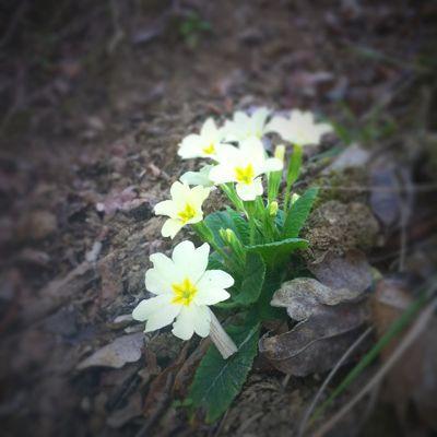 プリムラが咲きました_f0106597_601131.jpg