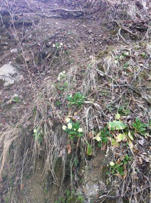 プリムラが咲きました_f0106597_60457.jpg