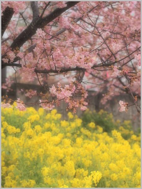 桜と菜の花_d0006718_8105499.jpg