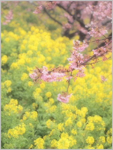 桜と菜の花_d0006718_841520.jpg