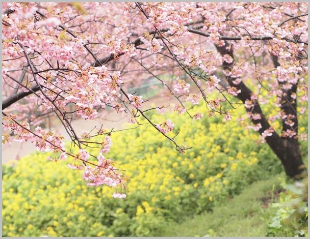 桜と菜の花_d0006718_851299.jpg