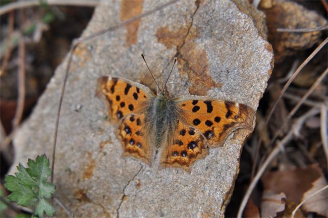 2012年3月の蝶_e0194952_1795146.jpg