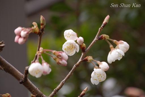 やっと春 さくらんぼの花_a0164068_23482084.jpg