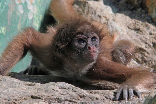 ケナガクモザル:Long-haired Spider Monkey_b0249597_535087.jpg