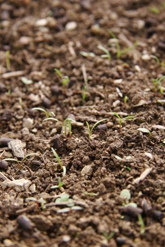 ニンジンの種蒔きは丁寧に丁寧に~3月の畑_f0106597_2272639.jpg