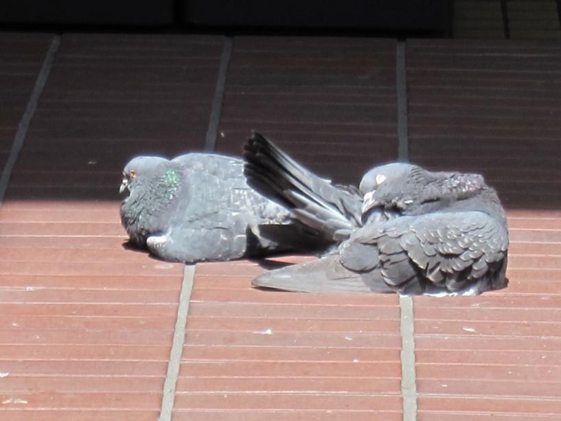 【散撮】鳩って_f0141609_195740.jpg