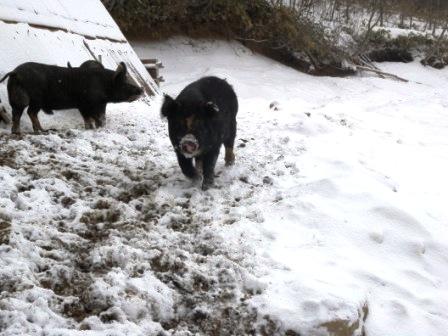 岩泉町の山奥に、「龍泉洞黒豚」を訪ねる_b0206037_14472225.jpg