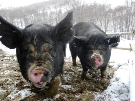 岩泉町の山奥に、「龍泉洞黒豚」を訪ねる_b0206037_14473384.jpg