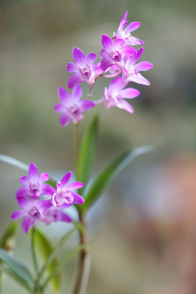 自宅の花(4) ミニラン_b0223668_6421014.jpg