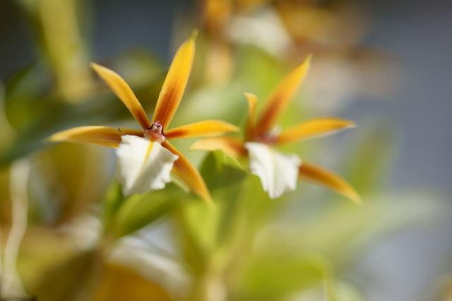 自宅の花(4) ミニラン_b0223668_6435144.jpg