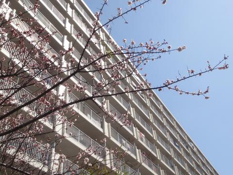 「杏の花が咲きました」(@行徳ハイム)_f0064203_824212.jpg