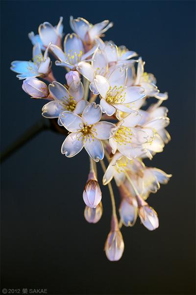 桜 「花霞」 美しすぎるかんざし作家榮さんの作品 2012 Naver まとめ
