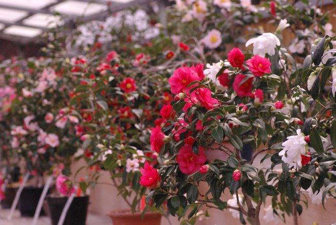 梅と椿が香る名古屋城 椿展_e0171336_1053199.jpg