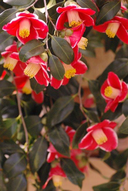 梅と椿が香る名古屋城 椿展_e0171336_1054332.jpg