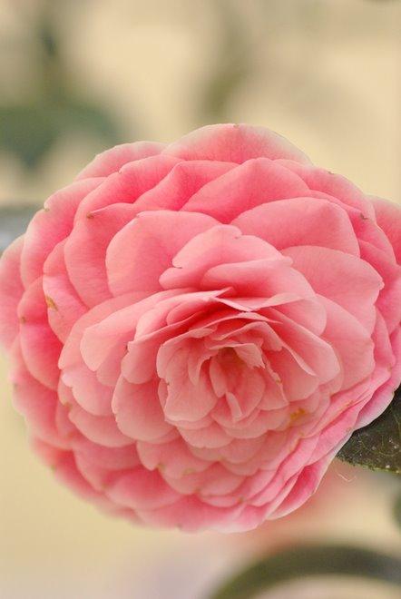 梅と椿が香る名古屋城 椿展_e0171336_11114061.jpg