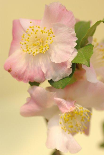 梅と椿が香る名古屋城 椿展_e0171336_11122310.jpg