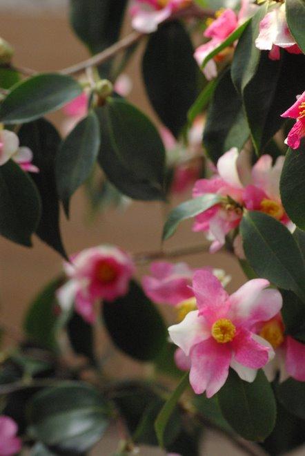 梅と椿が香る名古屋城 椿展_e0171336_118433.jpg