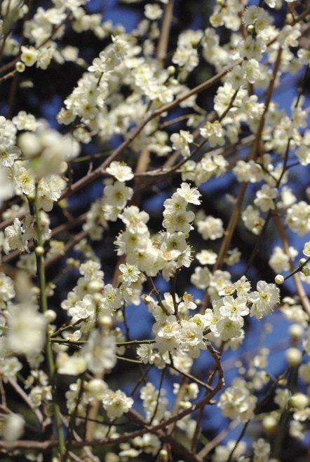 梅と椿が香る名古屋城 椿展_e0171336_1212239.jpg