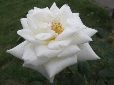 3月 21日 白いバラと青い遺跡です。_b0158746_20543285.jpg