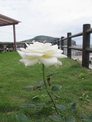 3月 21日 白いバラと青い遺跡です。_b0158746_20545130.jpg