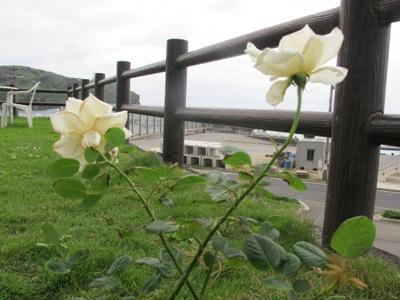 3月 21日 白いバラと青い遺跡です。_b0158746_2055239.jpg