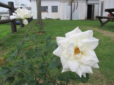 3月 21日 白いバラと青い遺跡です。_b0158746_20554460.jpg