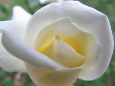 3月 21日 白いバラと青い遺跡です。_b0158746_20561899.jpg