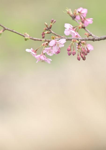 河津桜_f0018464_8505935.jpg